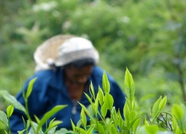 Zájezdy Srí Lanka - čajové lístky