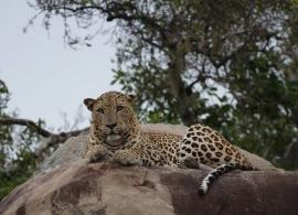 Zájezdy Srí Lanka - leopard v Yala
