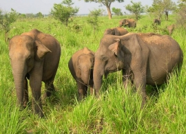 Sloni v národním parku Minneriya - Srí Lanka
