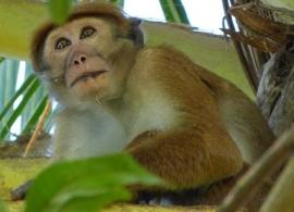 opice, Srí Lanka