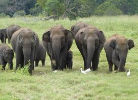 Sloni v NP Minneriya, Srí Lanka