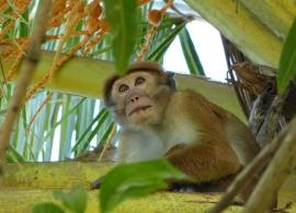 Zájezdy Srí Lanka - opice