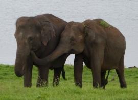 Zájezdy Srí Lanka - Sloni v NP Minneriya