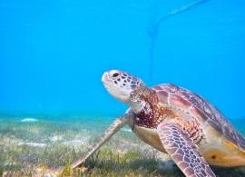 Kuredu Island resort - želva