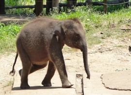slůně v Elephant transit home Uda Walawe