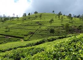 čajové plantáže u Haputale
