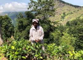 sběračka čaje, Srí Lanka