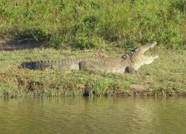 krokodýl v Národním parku Uda Walawe
