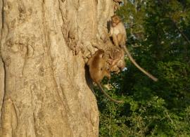 opice v Národním parku Uda Walawe