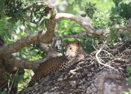 Leopard, národní park Willpathu, Srí Lanka