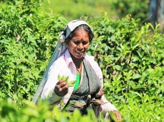 sběračka čaje Srí Lanka