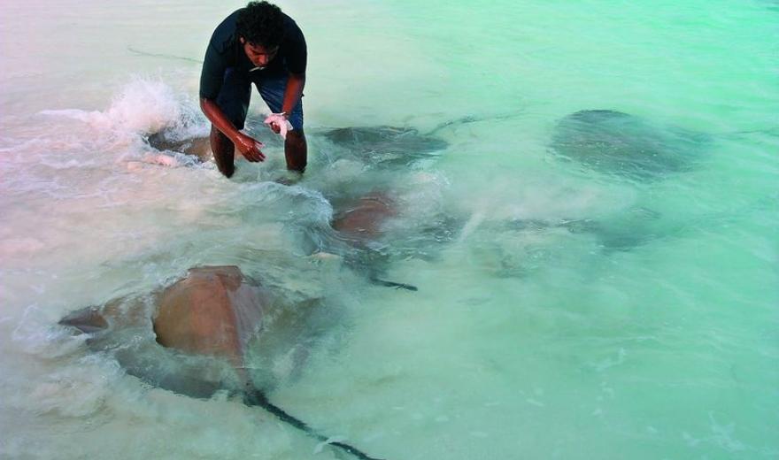 Krmení rejnoků na Maledivách