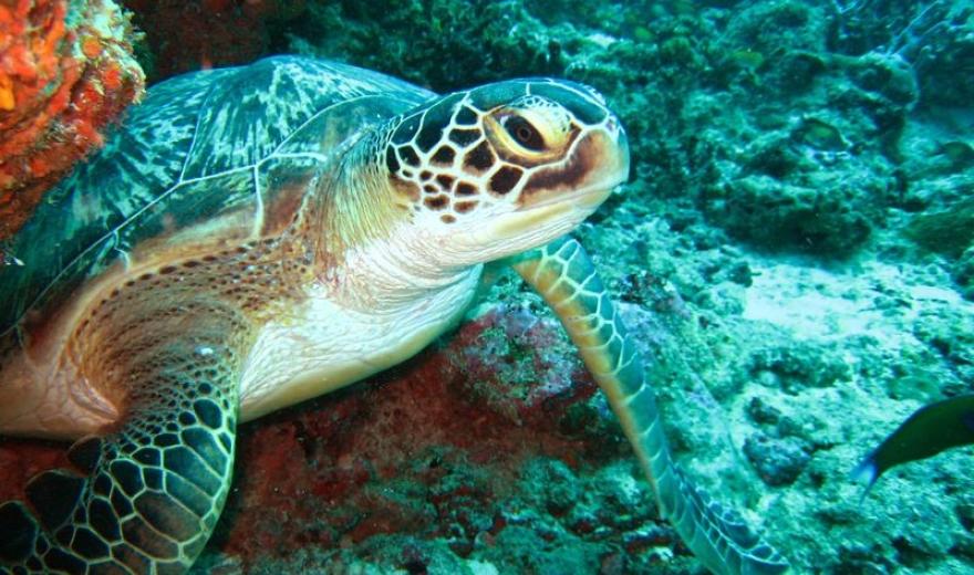 Želva na Maledivách