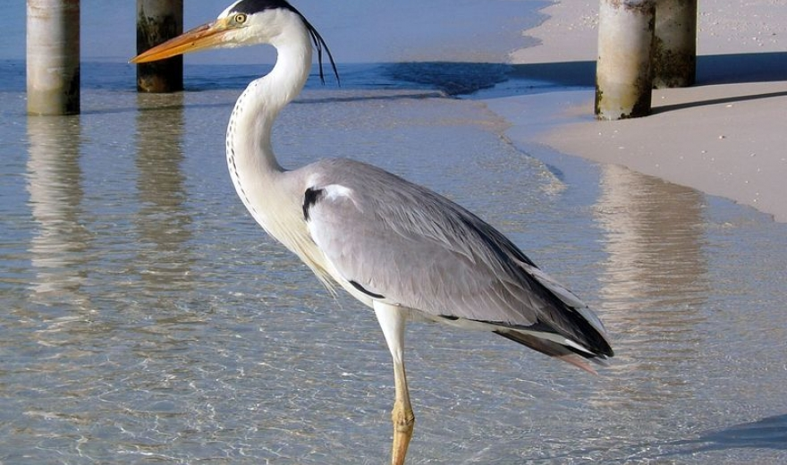 Maledivy - pták