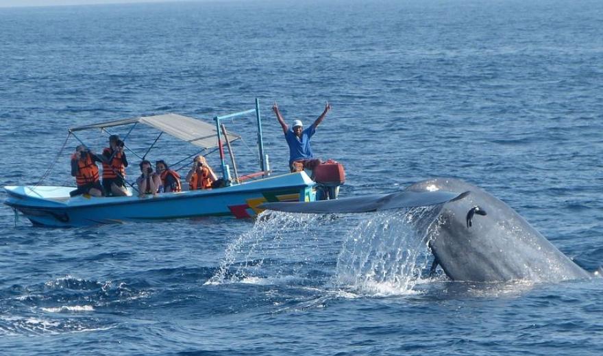 Modrá velryba, Srí Lanka