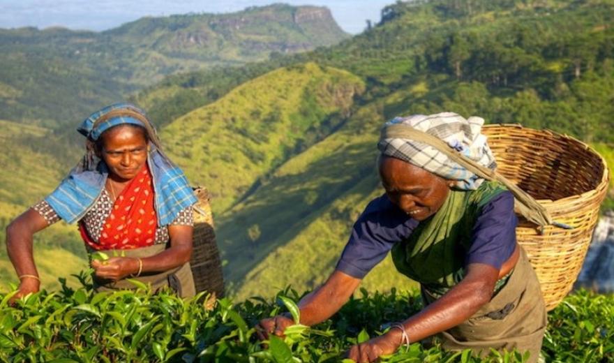 Příběh sběraček čaje